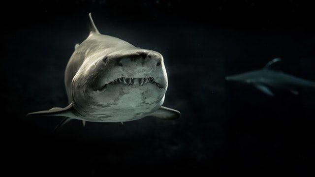 Accueillir des requins dans une piscine pour phoque
